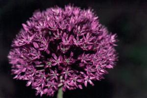 Närbild av kirgislök, Allium aflatunense