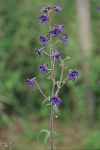 Delphinium bulleyanum