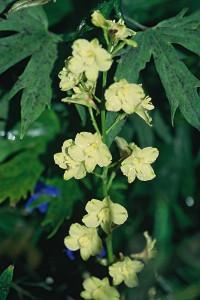 Delphinium semibarbatum