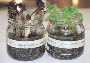 Sticklingar från hybridriddarsporrar
