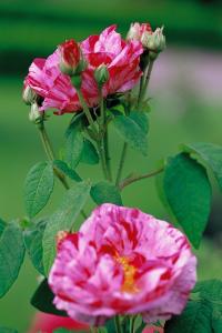 "Rosa gallica ""Mundi"" i Rottneros park"